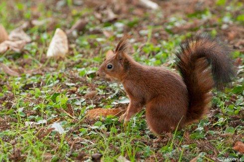 Ecureuil roux 4