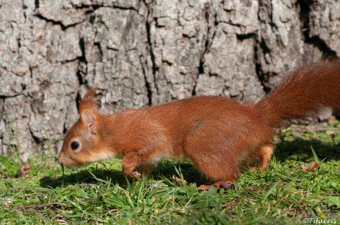Ecureuil roux 6