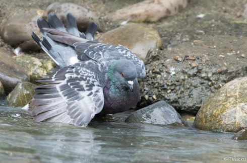 Pigeon biset 3
