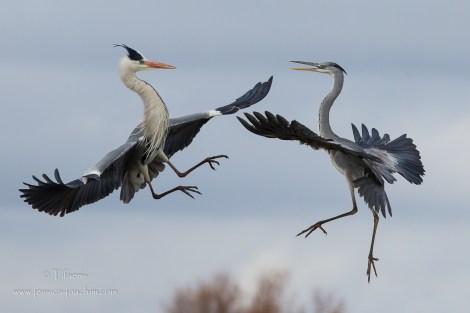 Héron cendré-Parc ornithologique de pont de Gau 18.01.2015
