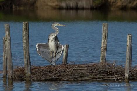 Héron cendré-Réserve ornithologique du Teich 10.05.2015