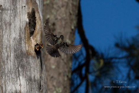 Etourneau sansonnet-Réserve ornithologique du Teich 10.05.2015