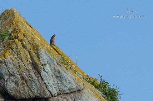 Faucon pélerin-Bretagne, Archipel des 7 îles, 12.08.2014