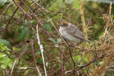 Fauvette à tête noire-Domaine des oiseaux 04.04.2015