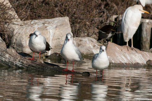 Mouette rieuse 14