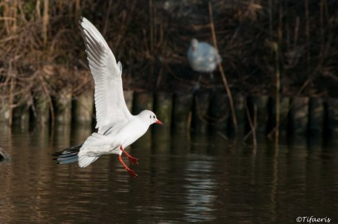 Mouette rieuse 2