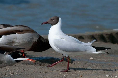 Mouette rieuse 7