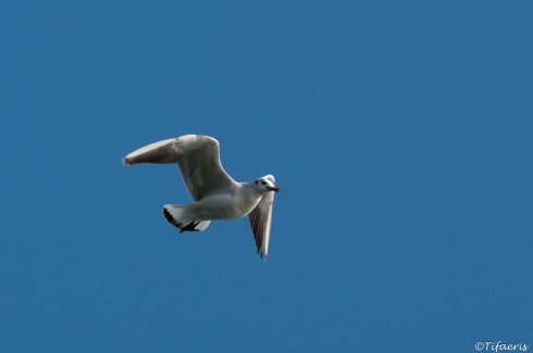 Mouette rieuse 8