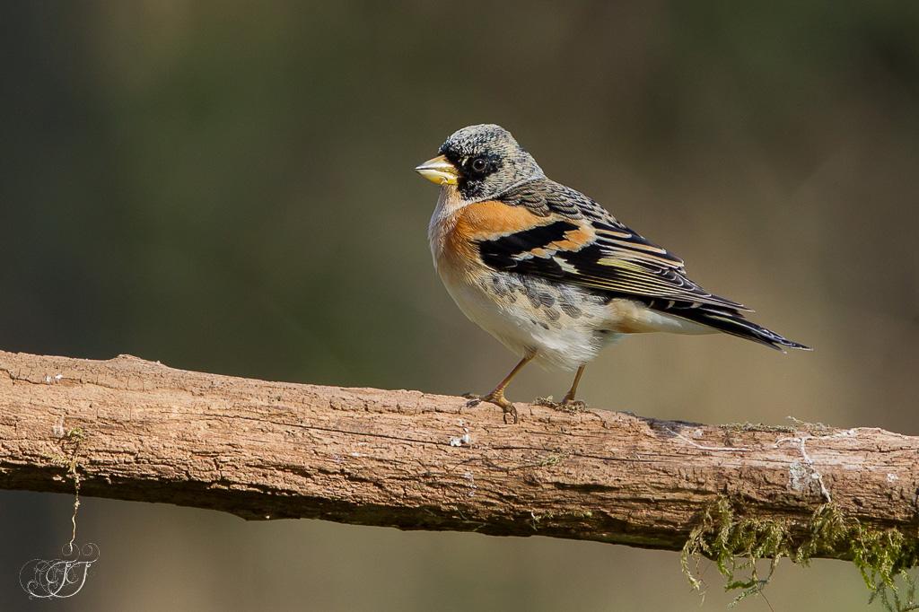Pinson du Nord-Domaine des oiseaux 06.02.2016