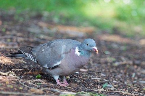 Pigeon ramier 3