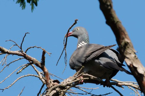 Pigeon ramier 8