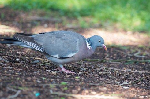 Pigeon ramier 9