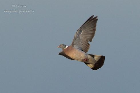 Pigeon ramier-Bretagne, Plouguerneau 14.08.2014