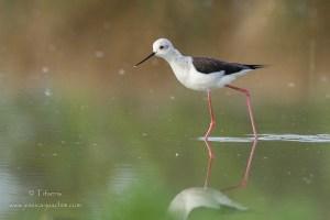 Echasse blanche-Domaine des oiseaux 18.04.2015