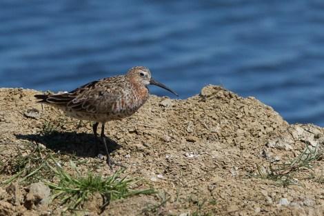Bécasseau cocorli-Réserve ornithologique du Teich 10.05.2015