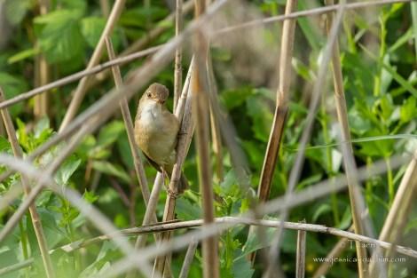 Rousserolle effarvatte-Réserve ornithologique du Teich 10.05.2015