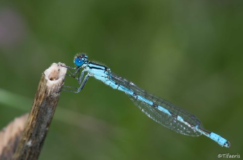 Agrion porte-coupe ♂