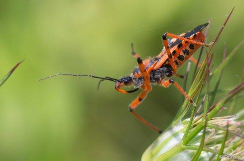 Rhéduve irascible (Rhynocoris iracundus-cuspidatus-rubricus)