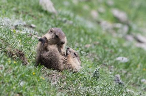 Marmotte des Alpes 10