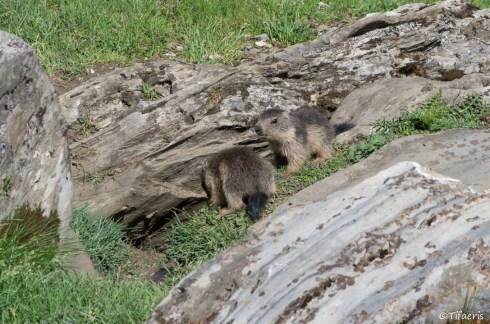 Marmotte des Alpes 11