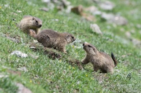 Marmotte des Alpes 12