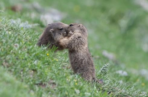 Marmotte des Alpes 14