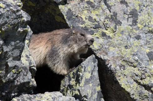 Marmotte des Alpes 15