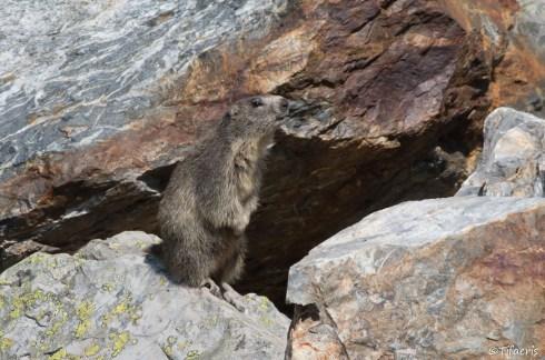 Marmotte des Alpes 18