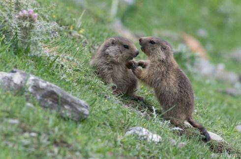 Marmotte des Alpes 2
