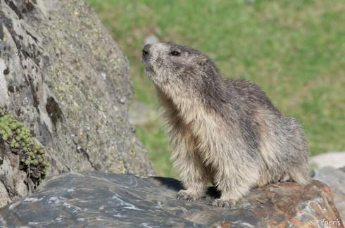 Marmotte des Alpes 3