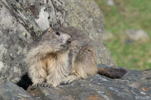 Marmotte des Alpes 4