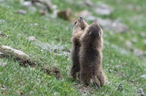 Marmotte des Alpes 5