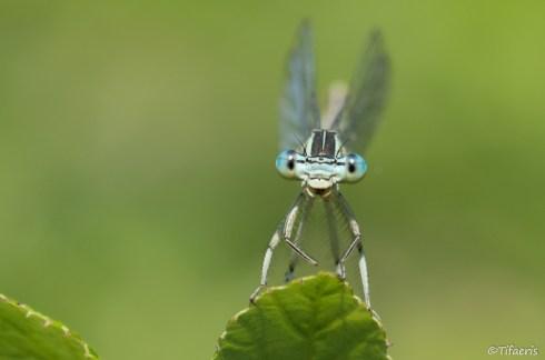 Pennipatte bleuâtre 6