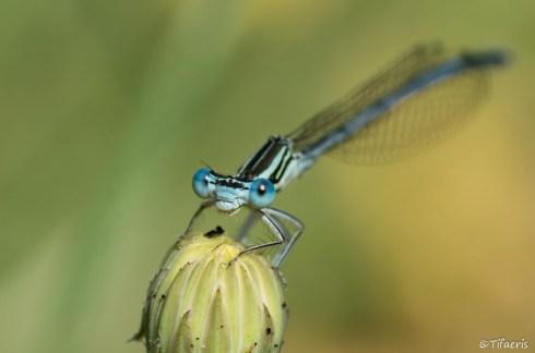 Pennipatte bleuâtre ♂ 8