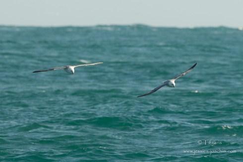 Fulmar boréal-Bretagne, Archipel des 7 îles, 12.08.2014