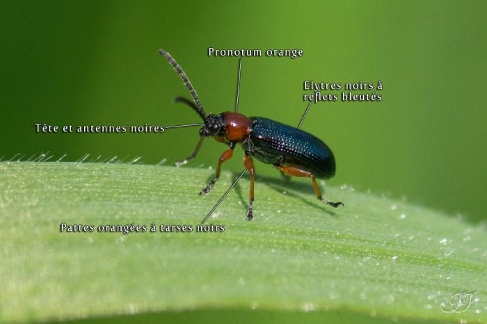 Oulema melanopus-rufocyanea-duftschmidi