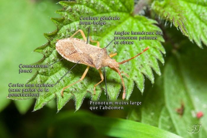 Gonocerus acuteangulatus