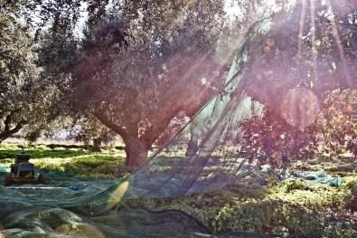 Olivenernte_DSC_2289_JM
