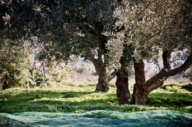 Olivenernte_DSC_2304_JM