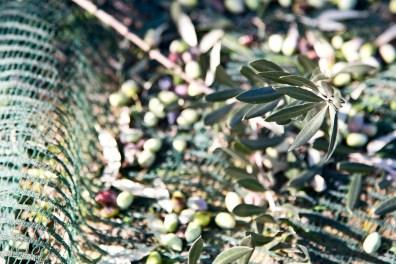 Olivenernte_DSC_2386_JM_1