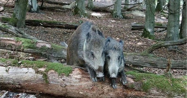 The actual German forest with the actual German boars.