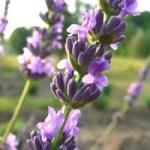 lavender-buzz-sidebar-image-350x350