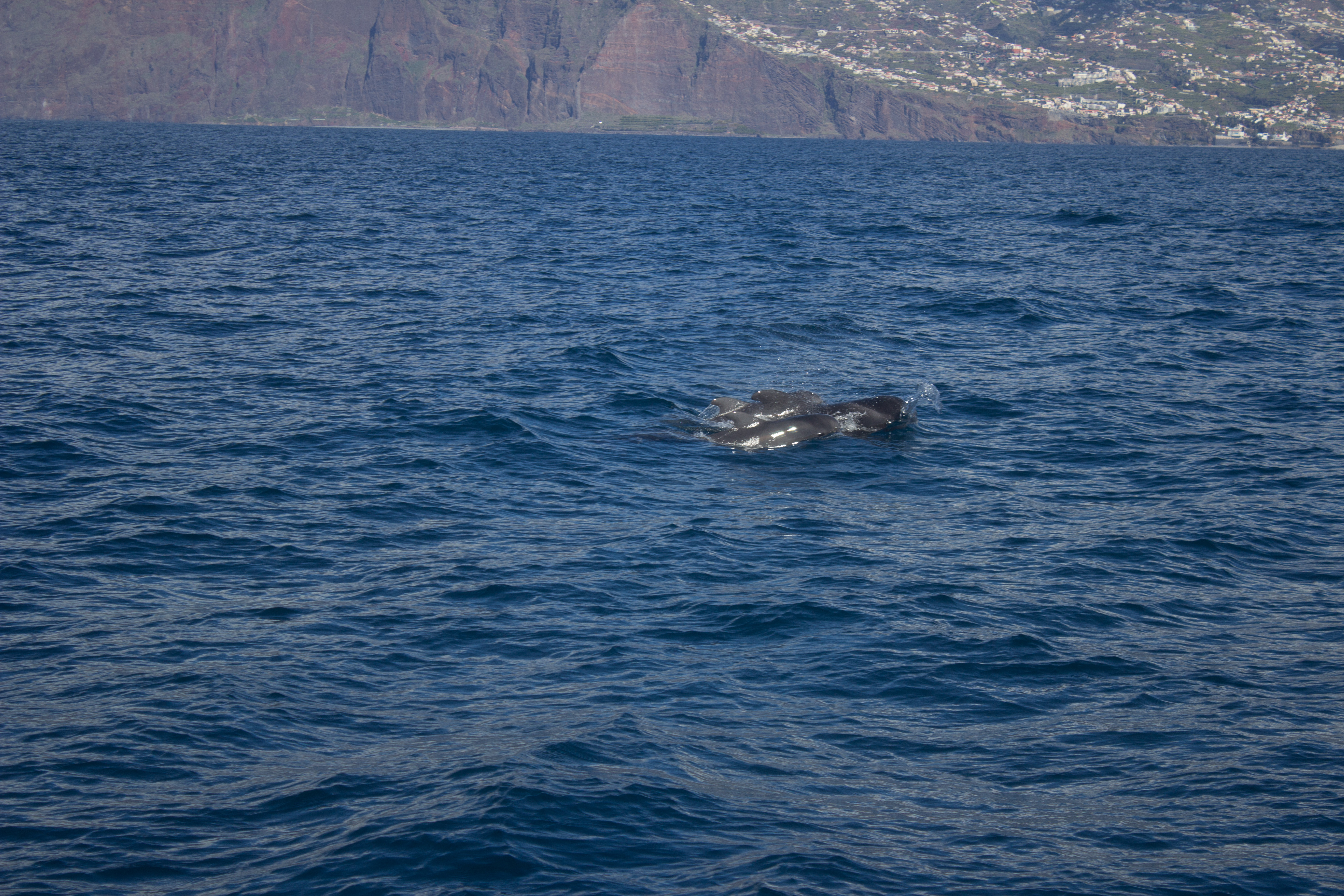 whales-funchal-madeira