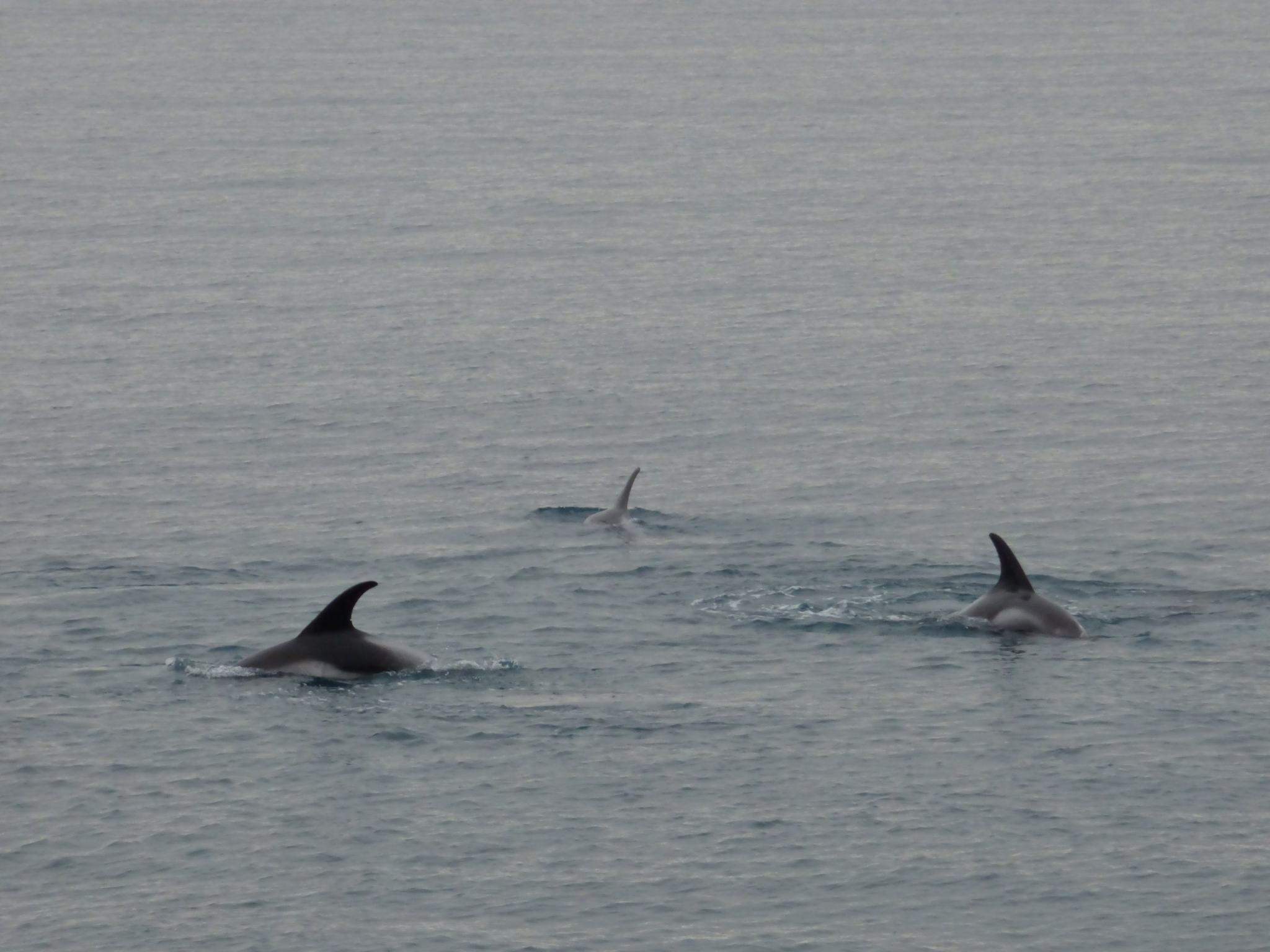 Dolphin-Watching-Iceland