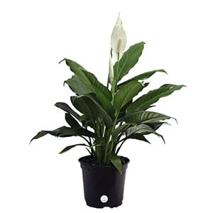 Peace Lily improves indoor air quality.