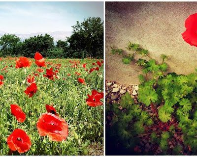 The Poppies Have Popped!