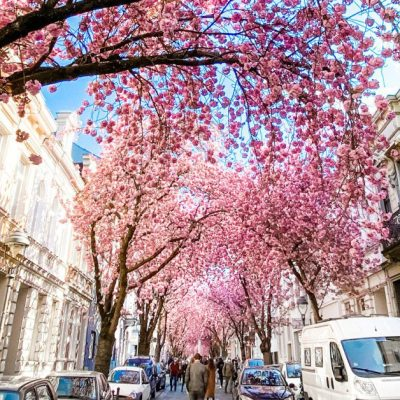 Cherry Blossom Street in Bonn, Germany