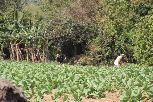 During an Alternative Spring Break trip to Cuba in March 2017, UM Hillel students visited the Pinar del Rio province, west of Havana. In Pinar del Rio they visited and bought cigars at a tobacco farm, with over 200,000 tobacco plants run by the Montesino family. Photo credit: Jessica M. Castillo