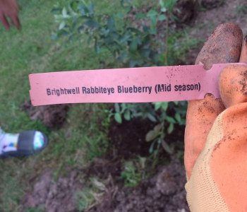 Meet our Blueberry bush Blarry