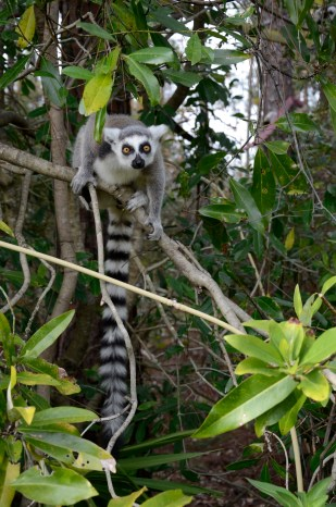 """Penelope Bodry-Sanders of New York was already concerned for Madagascar after her flight over the island gave her a view of its deforestation problems. But when she saw her first lemur, a critically endangered mammal indigenous only to Madagascar, that was it. """"My heart was taken, consumed, stolen. I wanted to do something about it,"""" she said. She founded the Lemur Conservation Foundation in Myakka City in 1996, where it now is home to 51 lemurs of different species."""